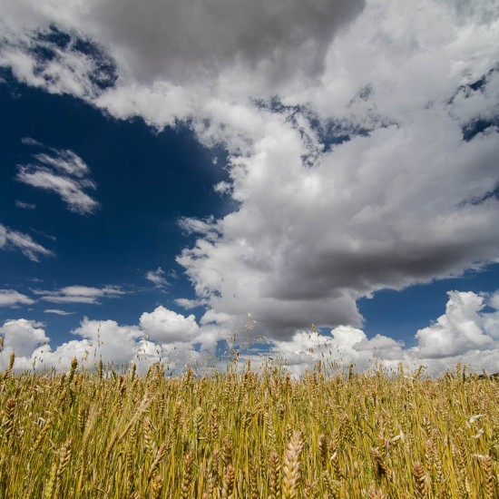 champ de blé 2