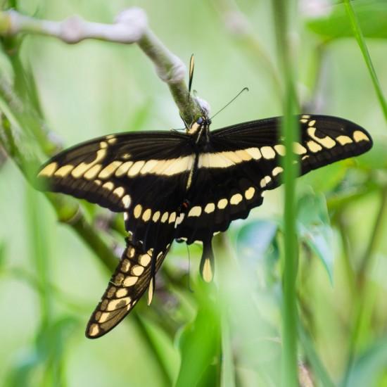 chenilles & papillons 3