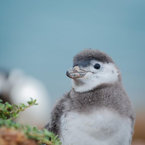 bebe penguin péninsule valdès 1