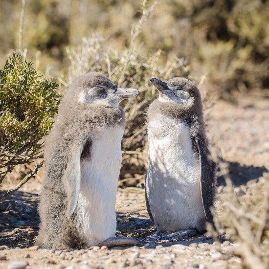 faune-deux-penguins-punta-tombo-4