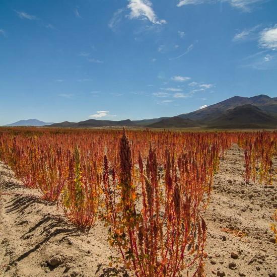 quinoa bolivienne 2