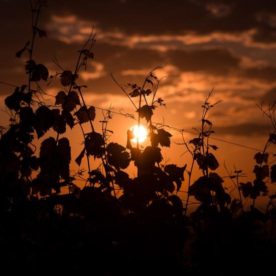 sunrise et vignes 1
