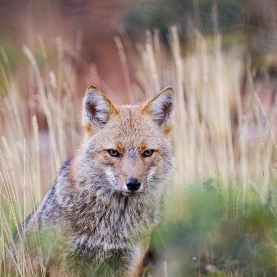 le renard 6